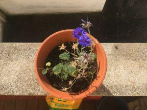 Blick auf einen Blumentopf, mit einer blauen Kornblume von oben