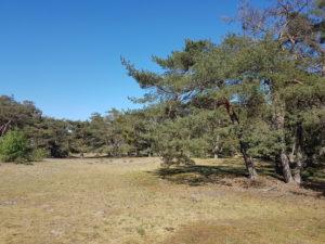 Bäume in der Düne