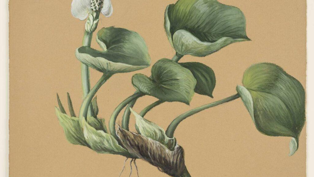 Zeichnung einer Pflanze mit dicken Blättern und weißer Blüte